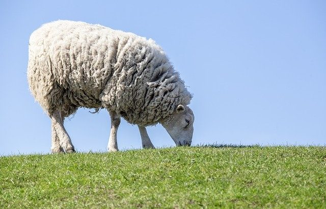 sheep for example